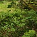 ヤマシャクヤク Paeonia japonica P5297742