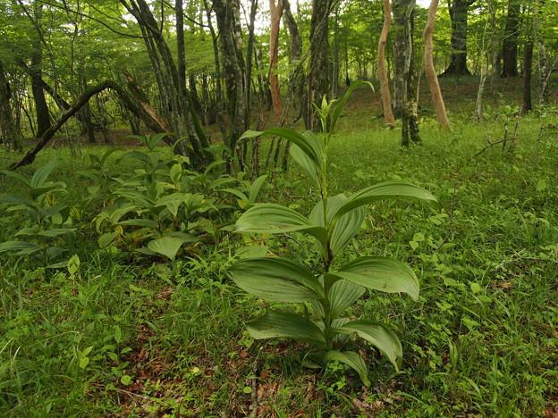 バイケイソウ Veratrum album subsp. oxysepalum P5297743