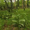Photos: バイケイソウ Veratrum album subsp. oxysepalum P5297743