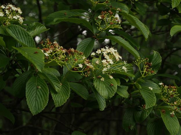 ゴマギ Viburnum sieboldii P5297755