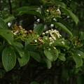 Photos: ゴマギ Viburnum sieboldii P5297755