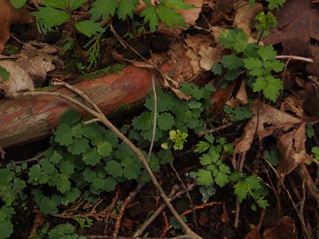 コガネネコノメソウ Chrysosplenium pilosum var. sphaerospermum P5297760