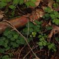 写真: コガネネコノメソウ Chrysosplenium pilosum var. sphaerospermum P5297760