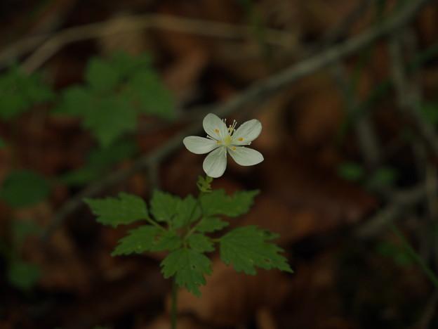 写真: ツルシロカネソウ Dichocarpum stoloniferum P5297767