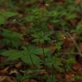 写真: クルマムグラ Galium japonicum Makino P5297772