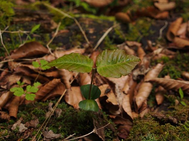 ブナ Fagus crenata(芽生え) P5297777