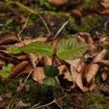 写真: ブナ Fagus crenata(芽生え) P5297777