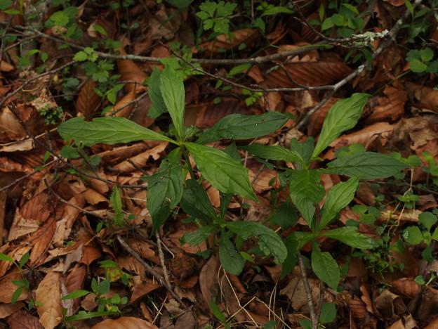 サワルリソウ Ancistrocarya japonica P5297792