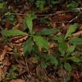 写真: サワルリソウ Ancistrocarya japonica P5297792