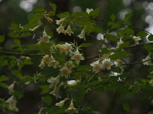 ツクバネウツギ Abelia spathulata var. spathulata P5297798