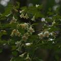 写真: ツクバネウツギ Abelia spathulata var. spathulata P5297798