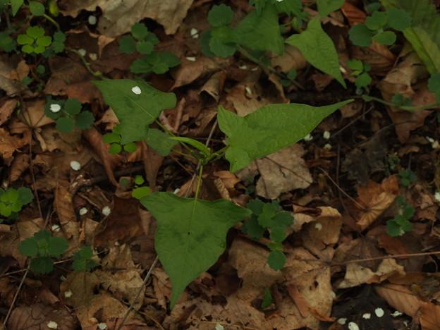 ヤマミゾソバ Persicaria thunbergii var. oreophila P5297803