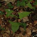 写真: ヤマミゾソバ Persicaria thunbergii var. oreophila P5297803