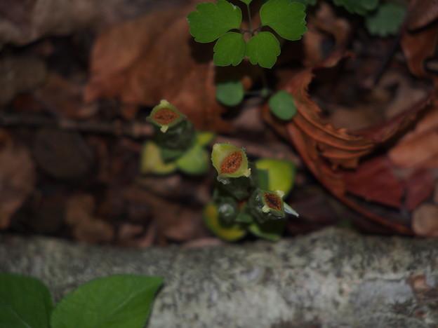 フデリンドウ Gentiana zollingeri P5297809