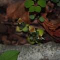 写真: フデリンドウ Gentiana zollingeri P5297809