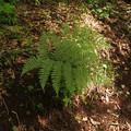写真: イッポンワラビ? Cornopteris crenulatoserrulata? P5297816