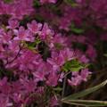 写真: ミカワツツジ(ムラサキヤマツツジ)? Rhododendron kaempferi var. mikawanum P5297823