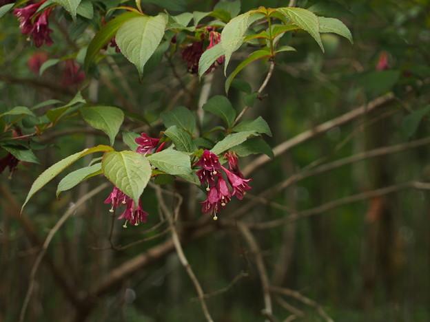 ヤブウツギ Weigela floribunda P5297824