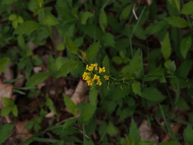 ハルザキヤマガラシ Barbarea vulgaris P5297828