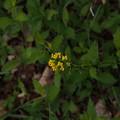 Photos: ハルザキヤマガラシ Barbarea vulgaris P5297828