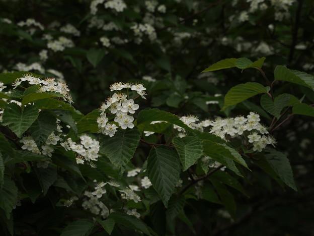 アズキナシ Aria alnifolia P5297831