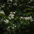 Photos: アズキナシ Aria alnifolia P5297831