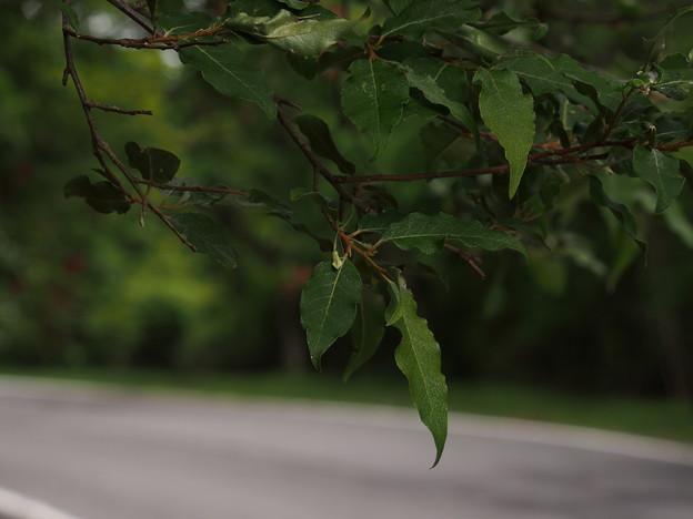 ホソバナツグミ? Elaeagnus multiflora P5297850