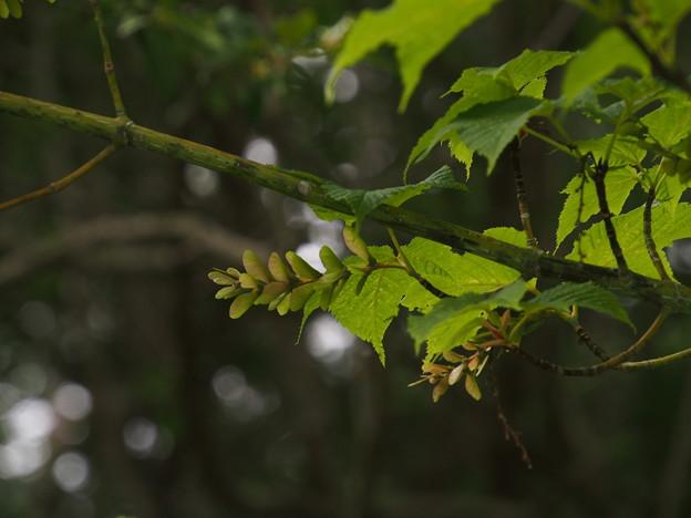 ウリハダカエデ Acer rufinerve P5297854