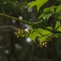 写真: ウリハダカエデ Acer rufinerve P5297854
