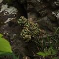 写真: イワヒバ Selaginella tamariscina P6017934