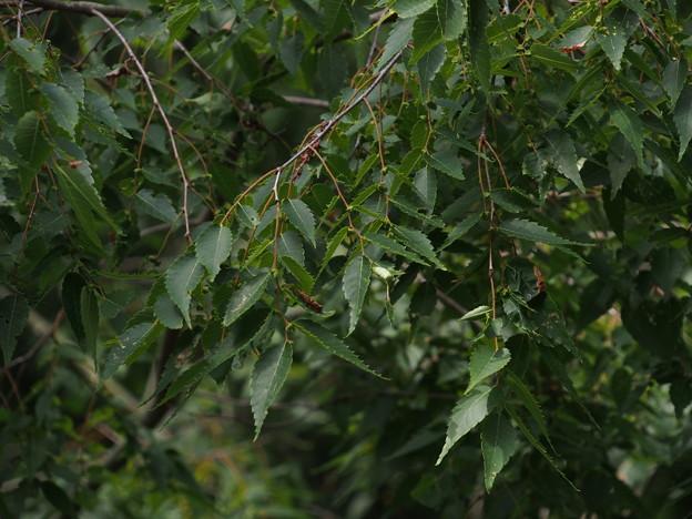 ケヤキ Zelkova serrata P6017955