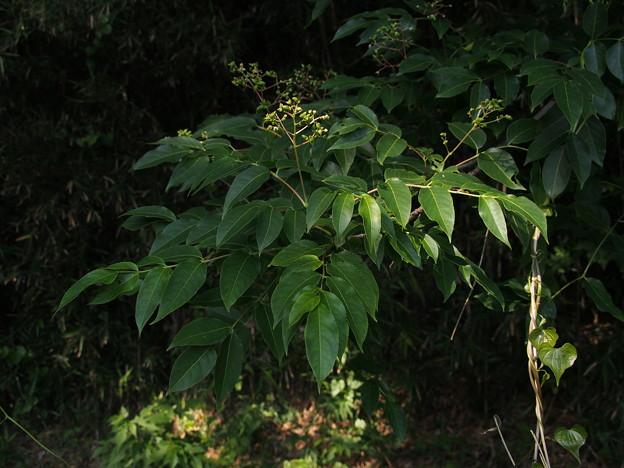 ゴンズイ Euscaphis japonica P6048210