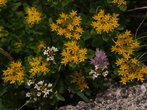 海岸植物3種(キリンソウ、ハマボッス、アサツキ)P6108238