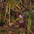 Photos: ハマナデシコ Dianthus japonicus Thunb. PB030950