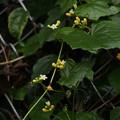 Photos: クロミノオキナワスズメウリ Zehneria guamensis (Merr.) Fosberg PB040991