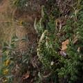 Photos: ツメレンゲ Orostachys japonica (Maxim.) A.Berger PB041044