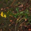 Photos: ハマアキノキリンソウ? Solidago virgaurea L. subsp. leiocarpa var. ovata ? PB041053