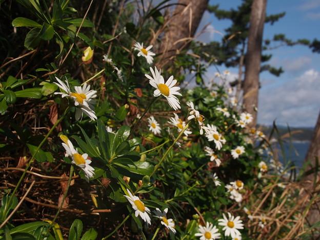ハマギク Nipponanthemum nipponicum (Franch. ex Maxim.) Kitam. P9280065