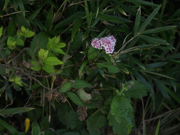 シモツケ Spiraea japonica L.f. P7019652