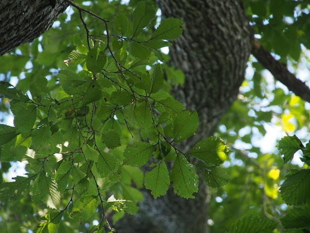 ハルニレ Ulmus davidiana Planch. var. japonica (Rehder) Nakai P8228390