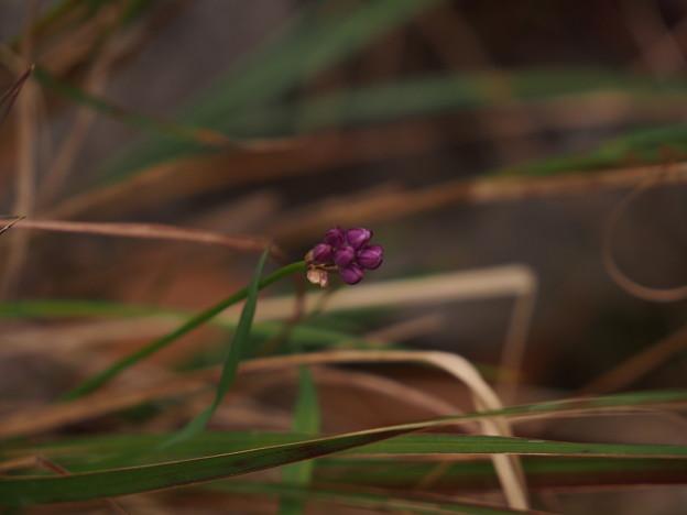 Photos: タマムラサキ ? Allium pseudojaponicum Makino ? PB091202