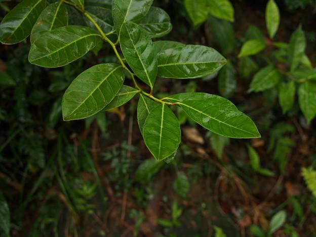 ヒイラギズイナ(成木) P1172323