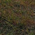 ボウムギ P4220012