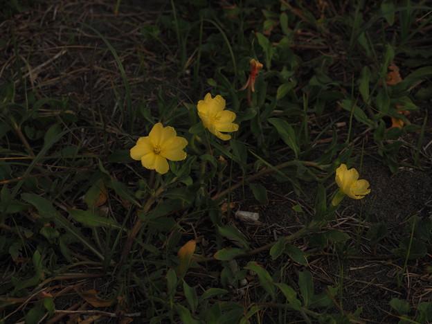 コマツヨイグサ P4220014