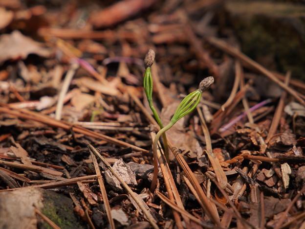 アカマツの芽生え P4297295