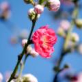 Photos: 桃伝