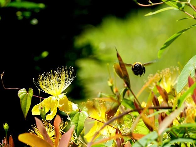 クマバチは飛ぶよ