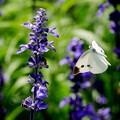 写真: お蝶夫人