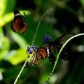 写真: 三頭花