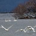 コハクチョウの湖